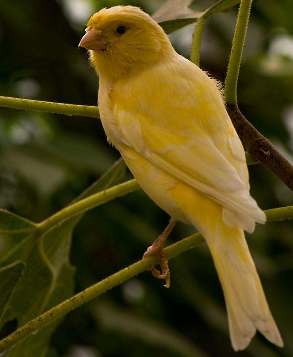 gesunder Kanarienvogel